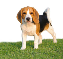 Dog Beagle breed standing on green grass