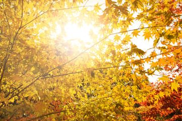 Beautiful autum background green and red foliage againt with the sunlight