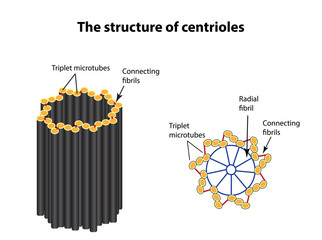 The structure of centrioles. Infographics. Vector illustration on isolated background