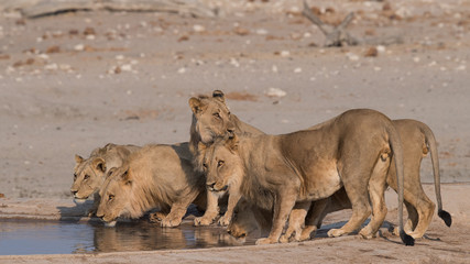 Fototapete - Pride of young male lion drinking water