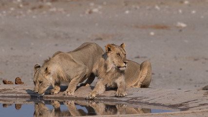 Fototapete - Young male lion reflection