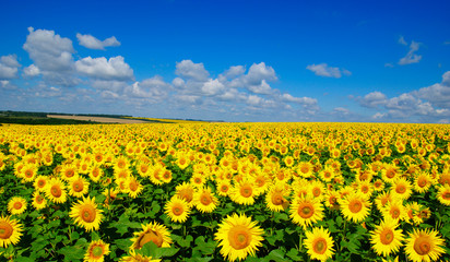 Fotomurales - field of blooming sunflowers