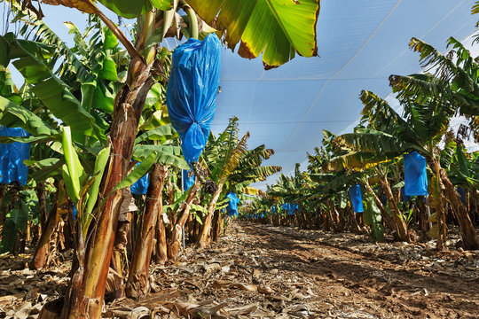 banana plantations covered with mesh