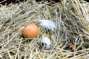 Chicken and quail eggs on hay. Front view.
