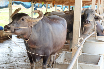 Buffalos in corral,Thailand