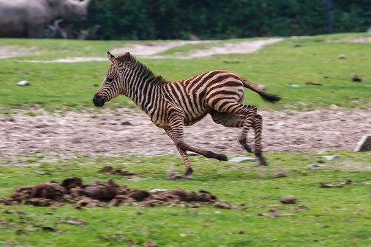 Baby zebra running around