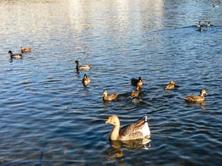 Wild ducks on river Vah in autumn