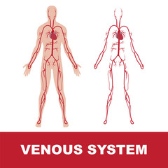 vector illustration of human venous system isolated on white