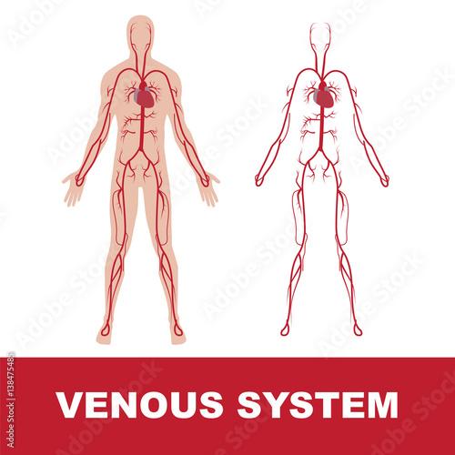 Human Circulatory System Vector Illustration Of Blood Circulation