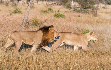 Pair of lions hunting at Kruger Narional Park, South Africa