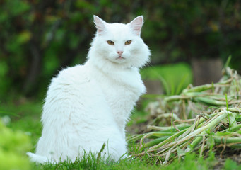 White albino cat Glusha