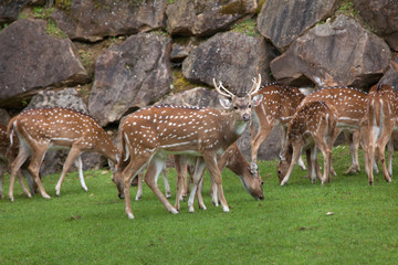 Chital (Axis axis)