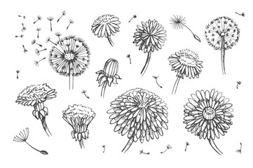 Floral elements for design, doodle ink dandelion set