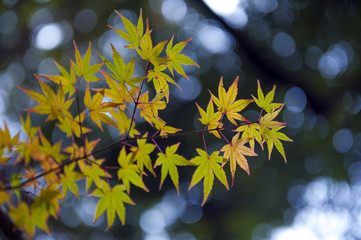 Yellow and green Japanese maple leaves during autumn in Kyoto, Japan