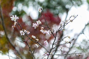 Japanese cherry blossom or sakura on leafless branches