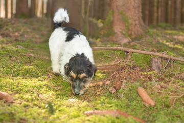 Hund folgt im Wald einer Fährte - Nachsuche - Jack Russell Terrier