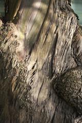 Close-up of bark of Red Spotted Gum/ Brittle Gum- Eucalyptus mannifera ssp. mannifera- Family Myrtaceae