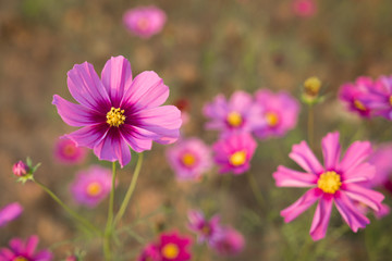 Close up pink cosmos flower bloom brightly in the fields with blur natural background