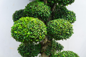 Bonsai tree with green leaves and white wall as background photo taken in Jakarta Indonesia