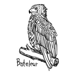 Bateleur - vector illustration sketch hand drawn with black lines, isolated on white background