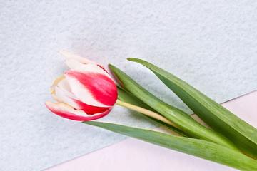 Single tulip on pastel background. Most beautiful flower.