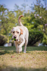 The Labrador retriever playing on the grass