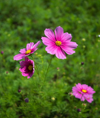 Close-up image of pink cosmos (Bipinnatus) flowers on green field background. Cosmos is also known as Cosmos sulphureus, Selective focus