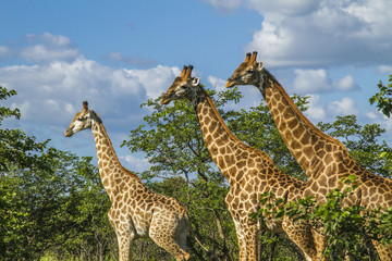 group of giraffes walking in a green savannah in Kruger Park, South Africa