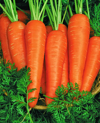 Fresh carrots bunch with leaves