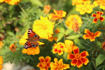 butterfly on flower, butterfly among the flowers, yellow flowers