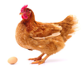 Brown hen and egg.
