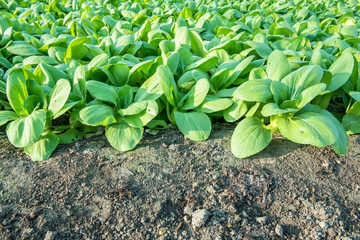 Chinese cabbage (bok choy) farm background