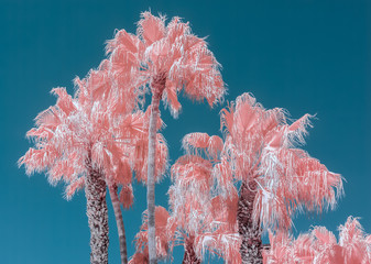 Pink palm trees and blue sky