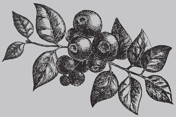 The blueberry on the branch with leaf. Berries vintage vector drawing isolated