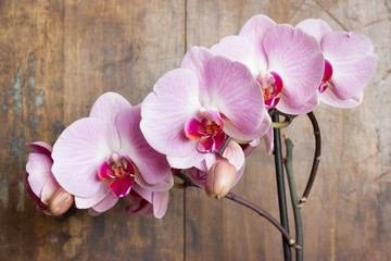 Pink streaked orchid flower (Phalaenopsis) on wooden background