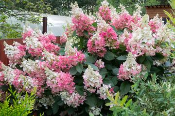 Deurstickers Hydrangea hydrangea bush with pink caps of flowers