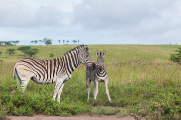 Zebra Calf Affections Wildlife