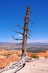 Lonely Tree in the Bryce Canyon National Park in the USA