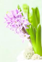 pink hyacinth on a light background