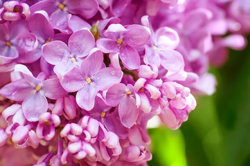 closeup  violet spring  lilac flowers. natural floral background