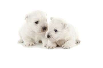 Wall Mural - West Highland White Terrier puppies