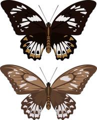 Indonesian vector female birdwings butterflies