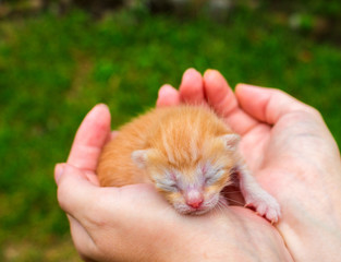 New born baby cat. Red kitty in caring hands. Cute cat close phot