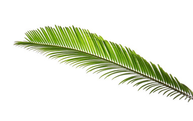 Green leaf of palm tree on white background