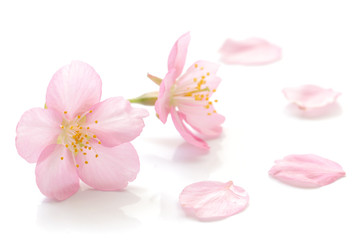Japanese cherry blossom and petals Wall mural