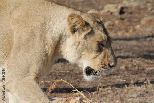Face close up of Asiatic Lion