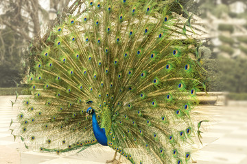 Royal peacock displaying its tail in Madrid, Spain