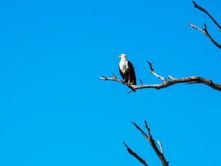 African fish eagle standing on dry tree branch with blue sky