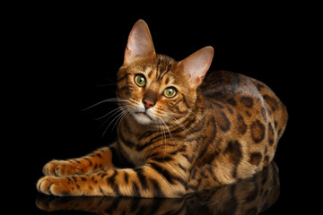 Gorgeous Spotted Bengal Cat Lying with kind eyes on isolated Black Background