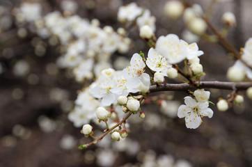 Flowering plum in the spring garden.